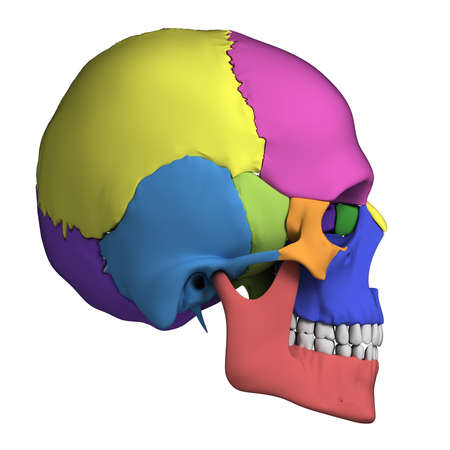 3d rendered illustration - human skull anatomy