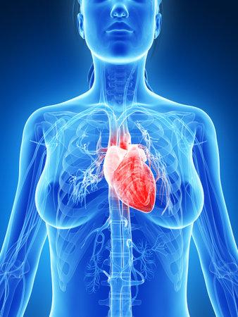3d rendered illustration of the female heart