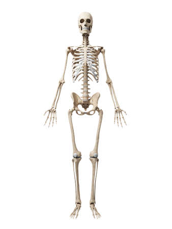 3d rendered illustration of the skeleton