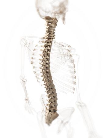 3d rendered illustration of a spine