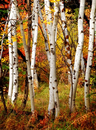 White Fall Birch Trees With Autumn Leaves