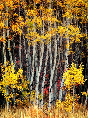Detail of several aspen birch trees with golden yellow leaves
