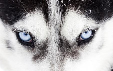 Foto de Close up on blue eyes of a husky dog - Imagen libre de derechos