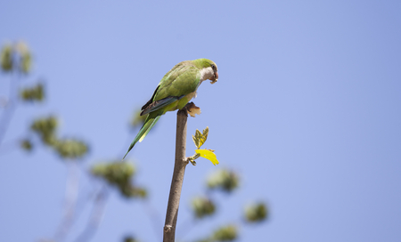 Green Quaker Parrot on a tree