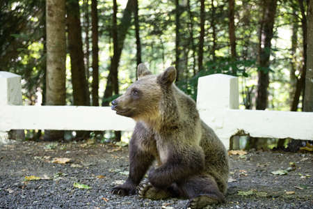 Photo for Brown bear cub near Transfagarasan road searching for food in a parking. - Royalty Free Image