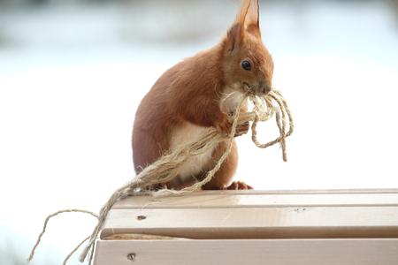 Squirrel / Sciurus vulgaris on the table.
