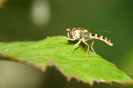 a macro of a great insect, a fly