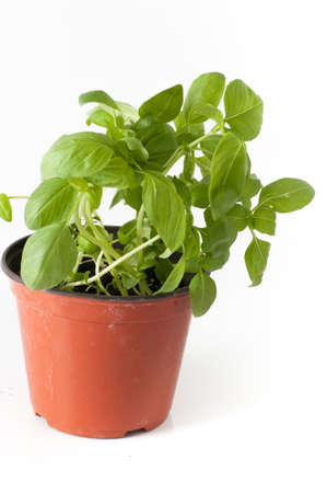 basil plant with pot and roots