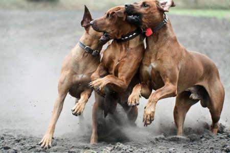 Three dogs running, Rhodesian Ridgeback breed.