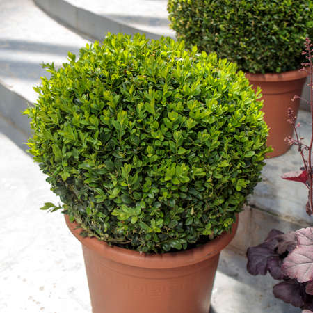 Photo for Ball-trimmed boxwood in large clay pots as a garden decoration. Summer time - Royalty Free Image