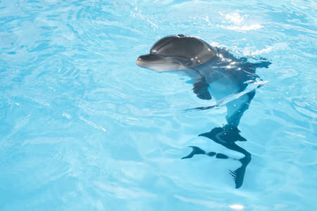 Photo pour view of nice bottle nose dolphin swimming in blue crystal water - image libre de droit