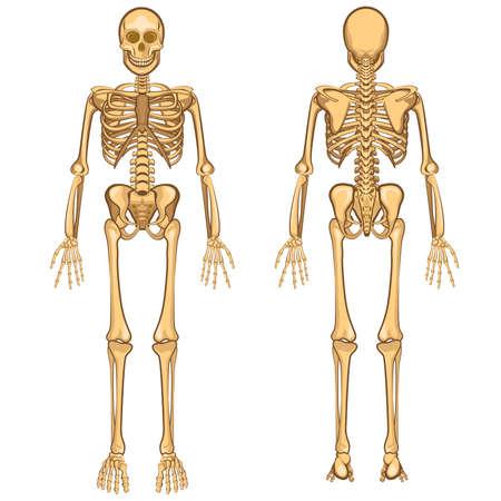 Human Body Anatomy Skeleton and Internal Organ Vector Illustration