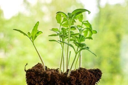 Foto de Small young seedlings aganst green defocused foliage background. Spring theme image - Imagen libre de derechos