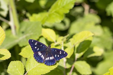 Photo pour The butterfly beetle in nature natural life - image libre de droit