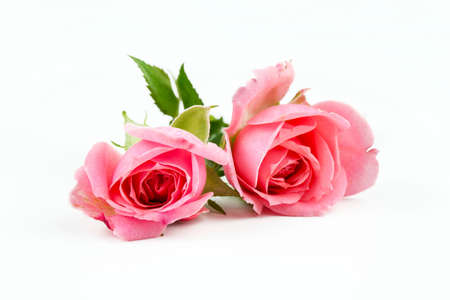Photo for Pink rose on the white background. Concept photo. - Royalty Free Image