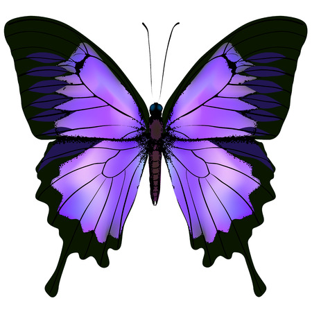 Illustration pour Butterfly. Vector illustration of beautiful pink and purple lilac violet butterfly isolated on white background - image libre de droit