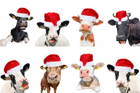 Foto de Collage of isolated cows, bulls and cattles on white background. New year or christmas animals concept. Cow in Santa Claus hat - Imagen libre de derechos