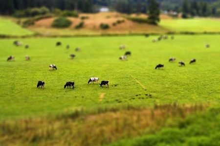 Tilt Shift Cows
