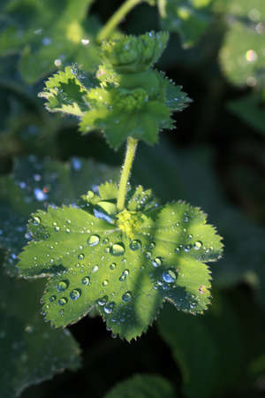 Water drops on the leaves of lady s mantle
