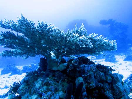 Table coral Acropora sp.
