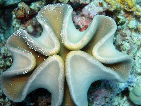 Leather coral Sarcophyton sp.