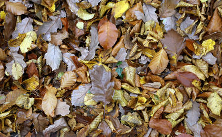 Autumn leafs on the forest ground