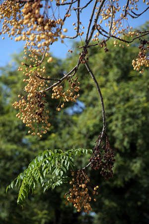 chinaberry tree (Melia azedarach), Persian lilac, Chinese elder or paternoster tree, Sevilla, Andalusia, Spain