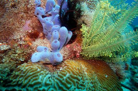 blue sponge Haliclona sp. and yellow hair star (Comanthus sp.), Pintuyan, Panaon Island, Southern Leyte, Philippines