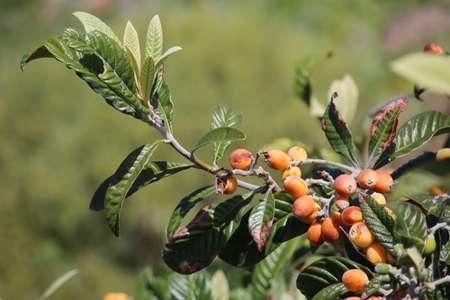 Loquat (Eriobotrya japonica) - Trek from Las Tricias to Santo Domingo de Garafia, La Palma, Canary Islands, Spain