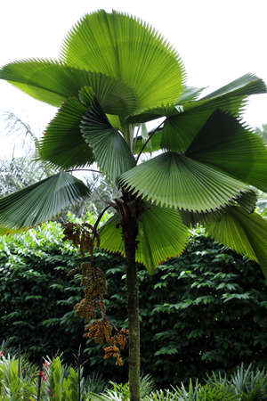 Ruffled Fan Palm, Vanuatu Fan Palm, Palas Palm (Licuala grandis), Botanical Garden, Singapore
