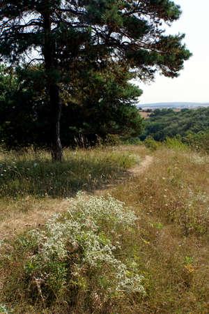 field eryngo (Eryngium campestre) - nature reserve Buervenicher Berg, Mechernich-Berg, North Rhine-Westphalia, Germany