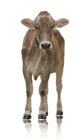 Photo pour Standing cow isolated on white - image libre de droit