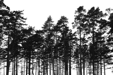 Photo for Pine trees forest isolated on white background. Black stylized silhouette photo - Royalty Free Image