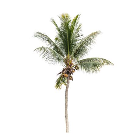 Photo for Natural photo of a coconut palm tree isolated on white background - Royalty Free Image