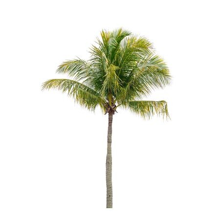 Photo for Coconut palm tree isolated on white background - Royalty Free Image