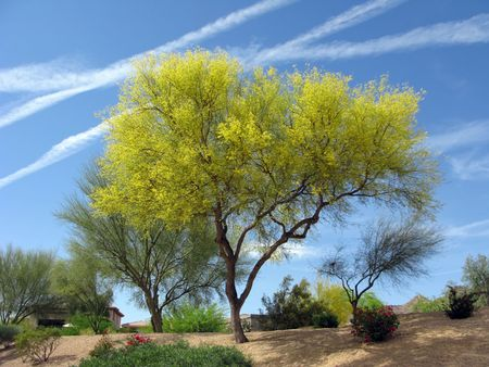 Blooming Palo Verde (Fabaceae Parkinsonia Microphyllum) Tree In Arizona