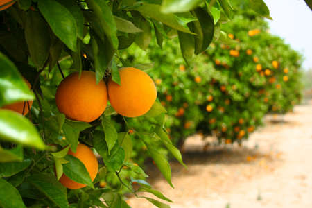 Green orange tree, lots of fruits