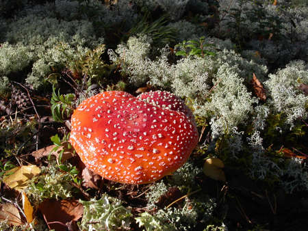 Red fly agaric close-up shot