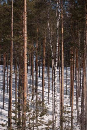 pine-wood in winter