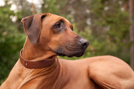 A nice looking black nosed Rhodesian Ridgeback with nice expression in head is watching other dog outdoors.
