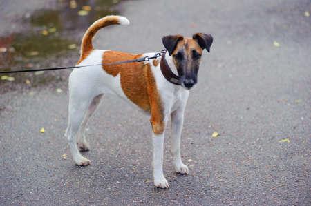 Portrait of purebred fox terrier  beautiful hunting dog