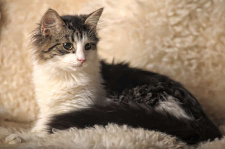 Norwegian Forest Cat, 5 months old, sitting