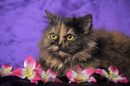 tortoiseshell Persian cat with flowers