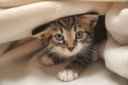 kitten peeping out from under the blanket