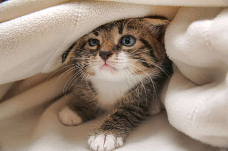 Photo for kitten peeping out from under the blanket - Royalty Free Image