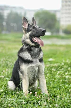 Beautiful German Shepherd Dog  outdoors