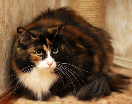 tricolor fluffy cat