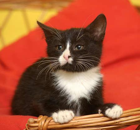 funny black and white kitten