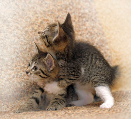 two tabby kitten playing with each other