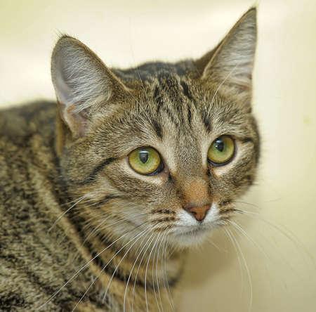 european shothair striped cat